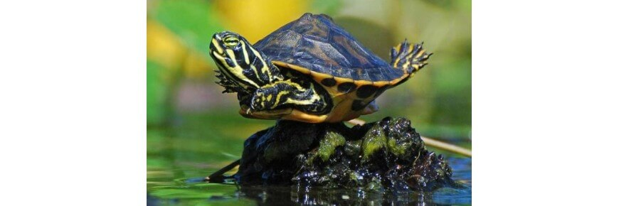 Prodotti per tartarughe cibo mangime accessori for Cibo tartarughe acqua