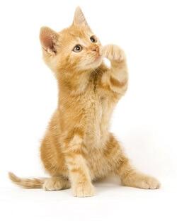 Gattino Socievole
