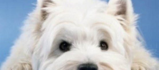 Cane West Highland White Terrier